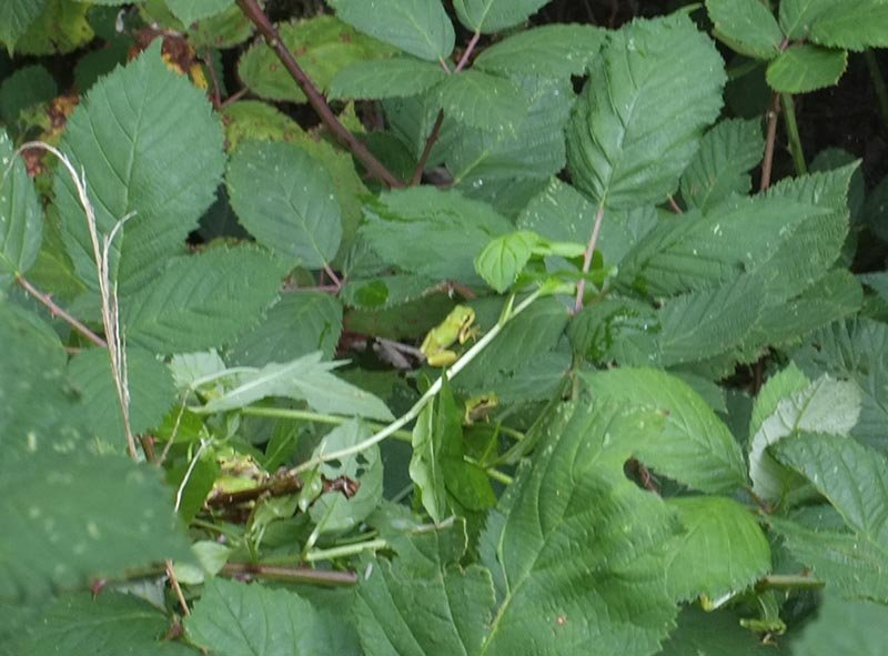 Aussetzaktion Laubfrösche am Hermelinweiher - Ab in die Büsche 11