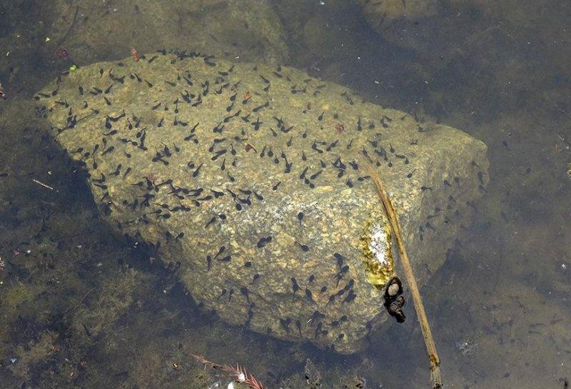 Schlosspark Amphibienteich - Erdkrötenquppen