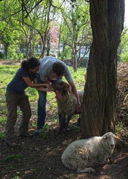 Böckchenweide - Schafpflege 3