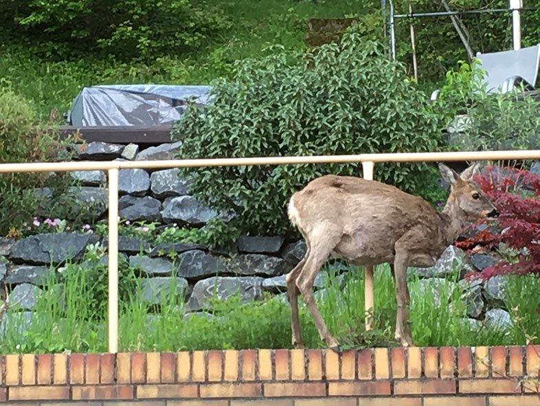 Reh im Garten 1