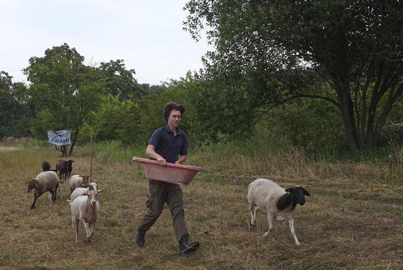 Schafumzug zur Bienenweide 4 10x15s