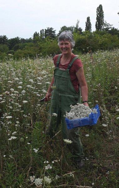 Uli erntet Schafgarbe auf der Bienenweide 2 10x16s