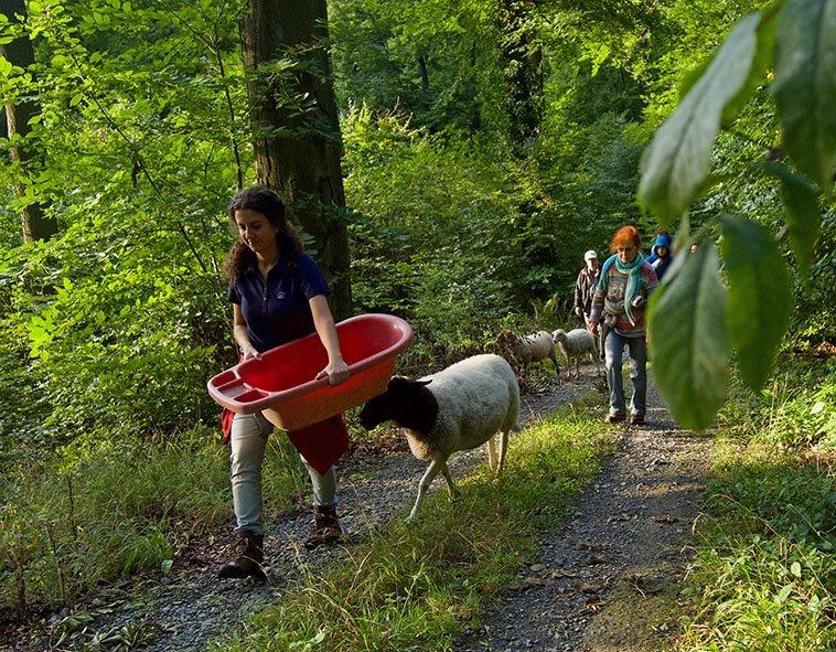 Schafe im Wald 06