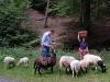 Schafe im Wald 02
