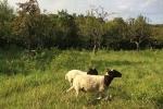 Schaf-Wanderung 06