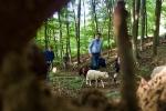Schafe im Wald 05