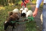 Schafe im Wald 08