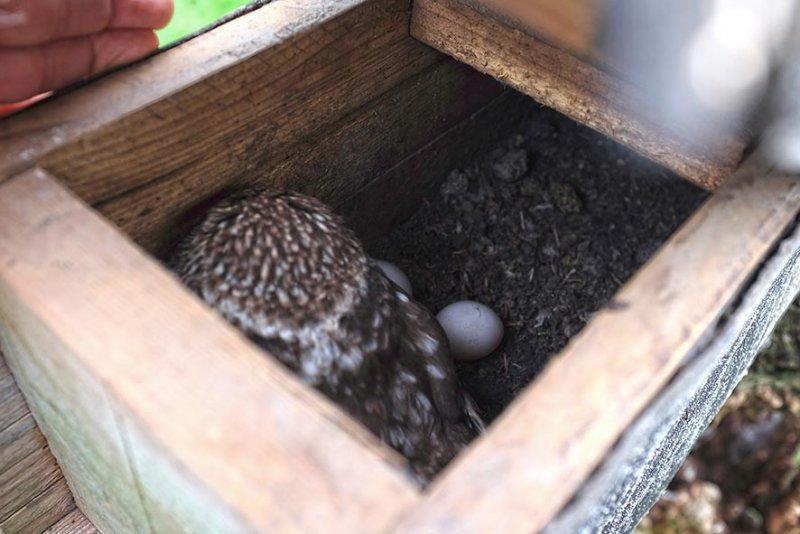 Steinkauzgelege 4 Eier Dreieckwiese