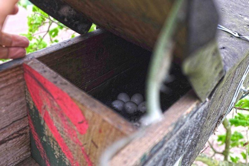 Steinkauzgelege 5 Eier im Ried