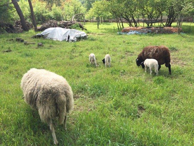 Schafe und Lämmer 01