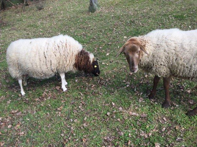 Schafe und Lämmer 04