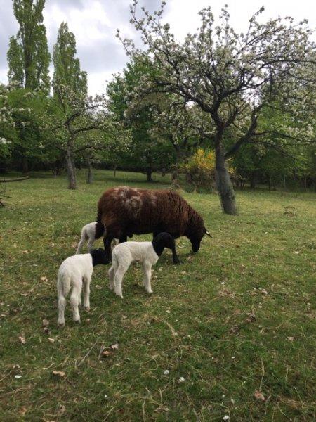 Schafe und Lämmer 09