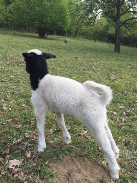 Schafe und Lämmer 13