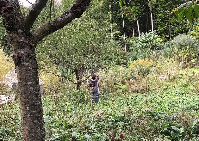 Etzwiesen Apfelernte 1