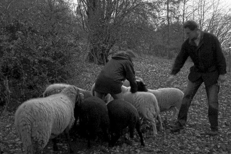 Schafe Bips-Weide 2