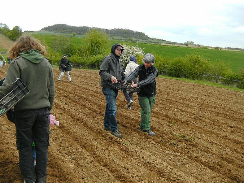 Lindenhof Kartoffeln legen 6