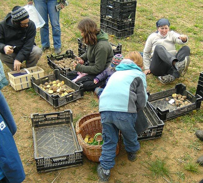 Lindenhof Kartoffeln legen 8