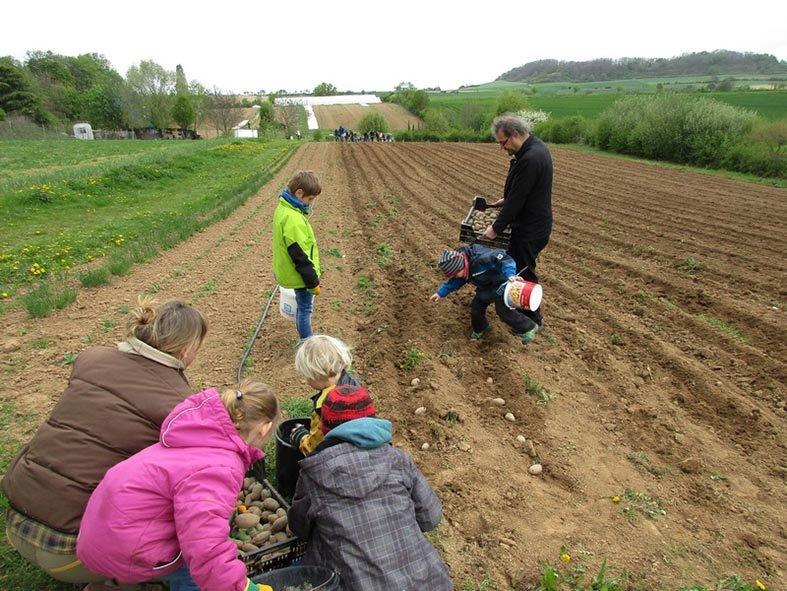 Lindenhof Kartoffeln legen 1