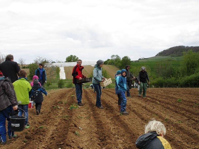 Lindenhof Kartoffeln legen 4