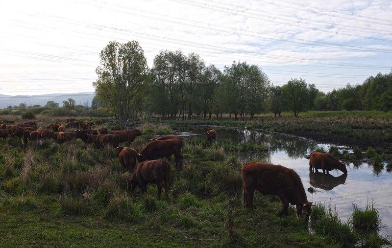 Vogelstimmenwanderung Landbachaue - Rotes Höhenvieh 2