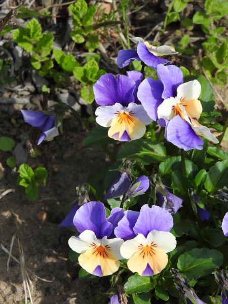 Wühlmausgarten Blüten 1