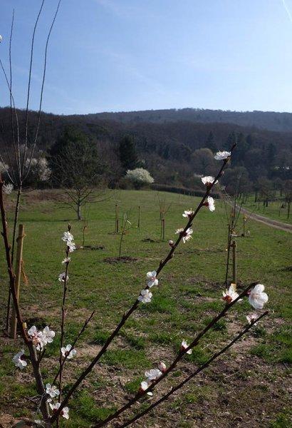 Kirschgarten am Blütenhang 1