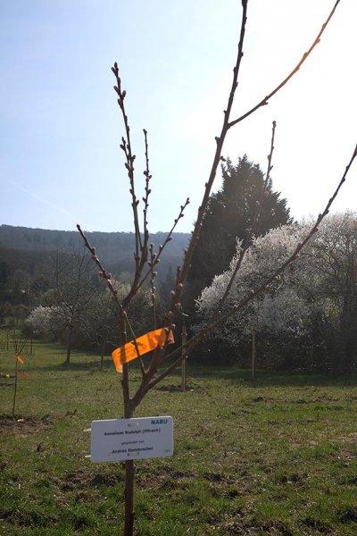 Kirschgarten am Blütenhang 2