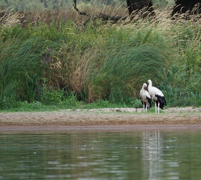 05a Weißstörche am Fluss