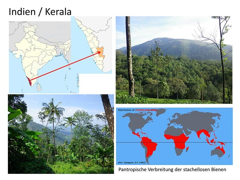 Stachellose Bienen von Kerala 02