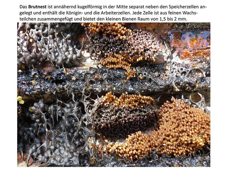 Stachellose Bienen von Kerala 07