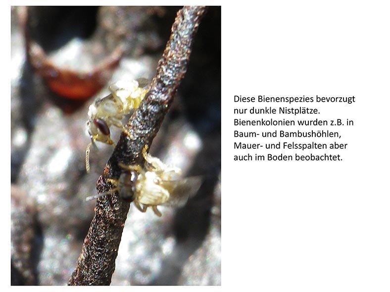 Stachellose Bienen von Kerala 12