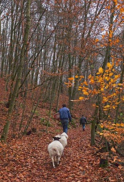 NABU-Schafe im Wald 2 10x15s