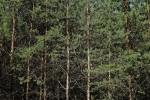 Gepflanzter Kiefern-Stangenwald 2