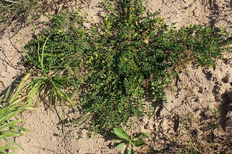 Hufeisenklee (Hippocrepis comosa)
