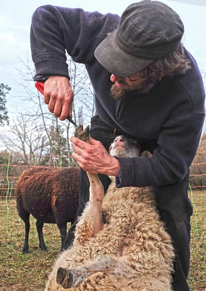 Schaf-Pediküre