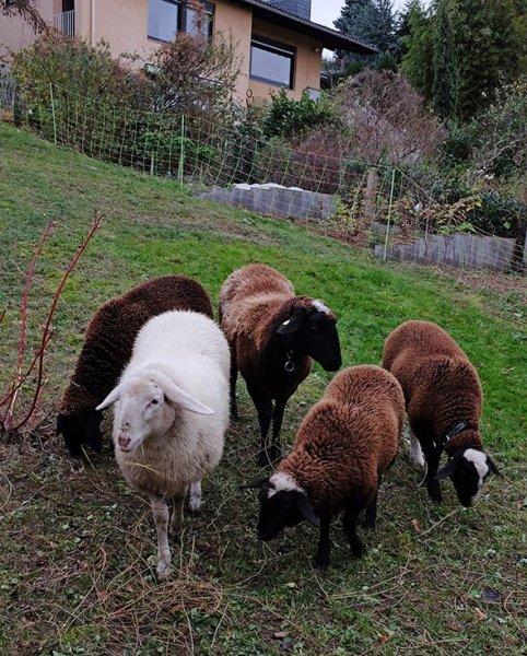Schafe umstellen 1