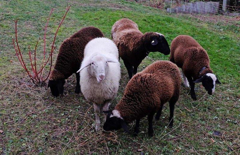 Schafe umstellen 2