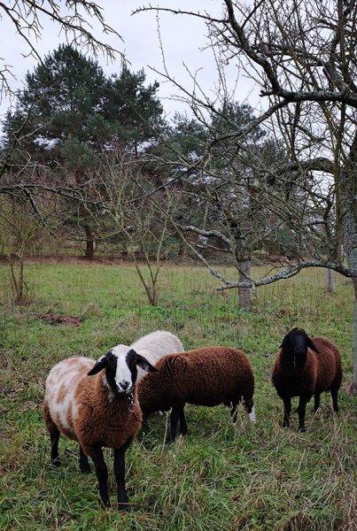 Schafe umstellen 4