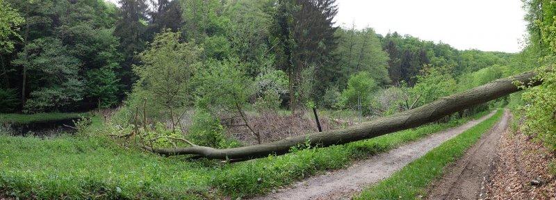 Etzwiesen Baumfall