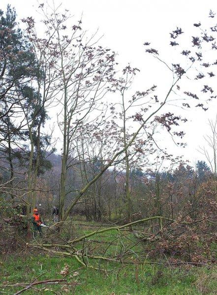 12 Weide Dieburger Strasse - Götterbaum-Fällung