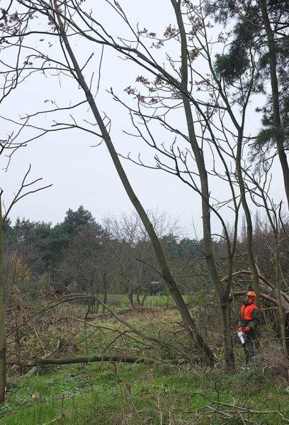 16 Weide Dieburger Strasse - Götterbaum-Fällung