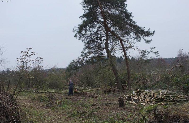 20 Weide Dieburger Strasse - Götterbaum-Fällung