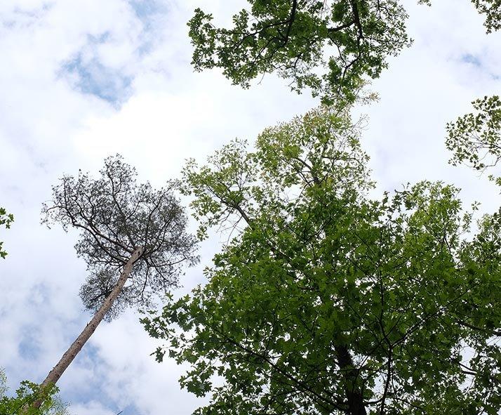 Frassschäden durch Waldmaikäfer und abgestorbene Kiefer