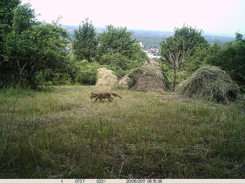 Fuchs am Seeheimer Blütenhang 1 10x13