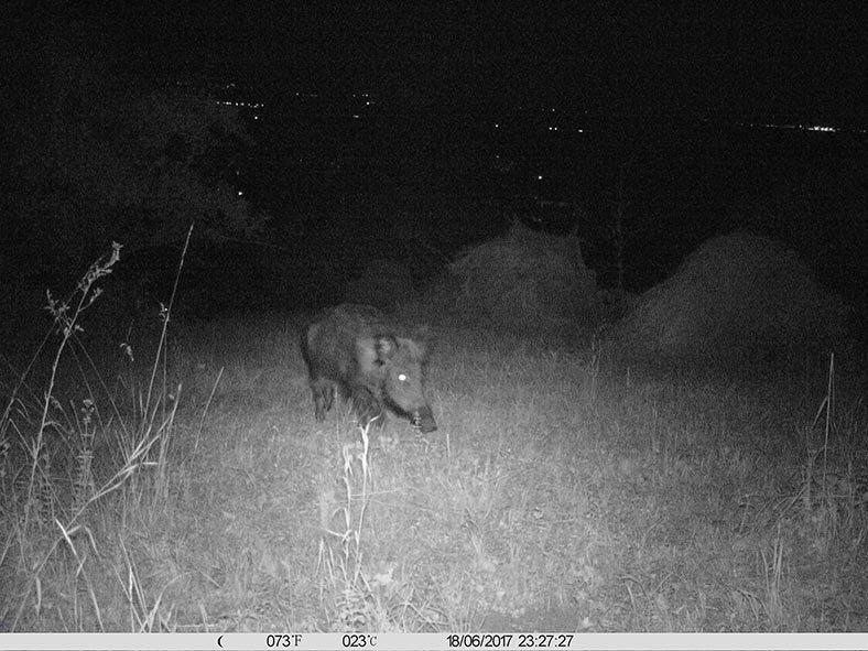 Wildschwein am Seeheimer Blütenhang 1 10x13