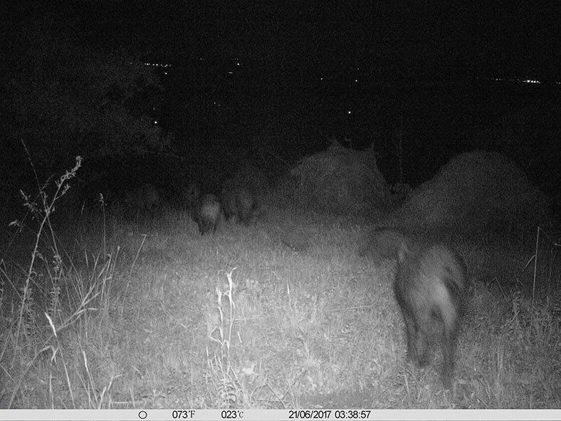 Wildschweine am Seeheimer Blütenhang 2 0x13