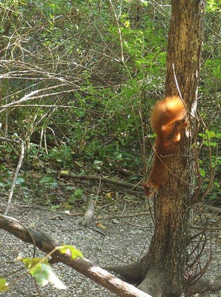 Blütenhang Seeheim - Eichhörnchen