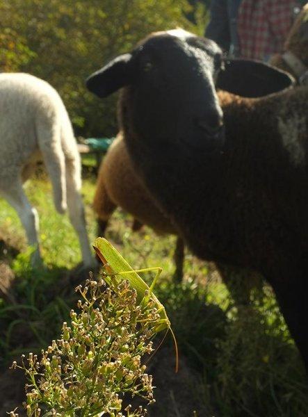 Grosses gruenes Heupferd auf der Schafweide 2