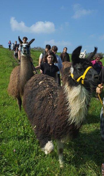 Lama-Wanderung Ober-Beerbach 11