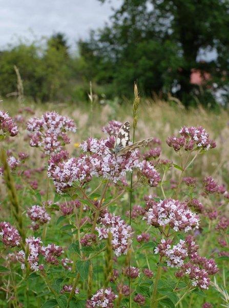 Schachbrettfalter (Melanargia galathea) male 1 10x13s